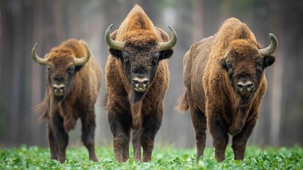 Streit um Wisent-Herde zum zweiten Mal beim BGH