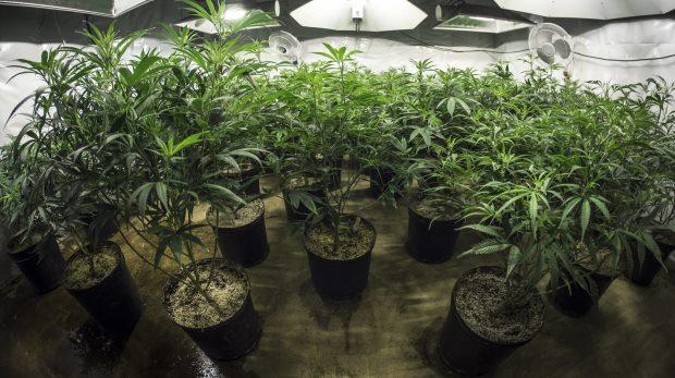 bverwg beh rde muss anbau von cannabis erlauben. Black Bedroom Furniture Sets. Home Design Ideas